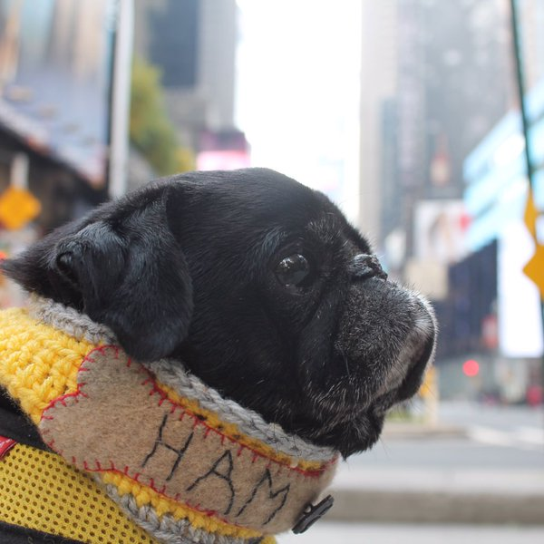 Job Search Tips from Dogs Hamilton Pug