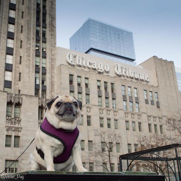 Violet the Pug Chicago Job Tips